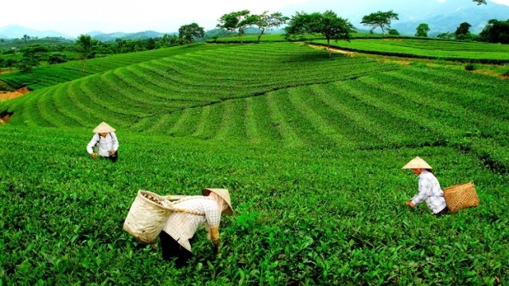 Vietnam tea exports ranked fifth worldwide