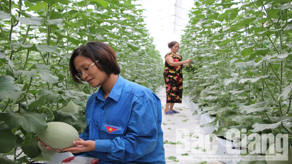 Mô hình trồng dưa lưới trong nhà màng của gia đình chị Đặng Thị Kim Loan, thôn Giữa, xã Đoan Bái (Hiệp Hòa).