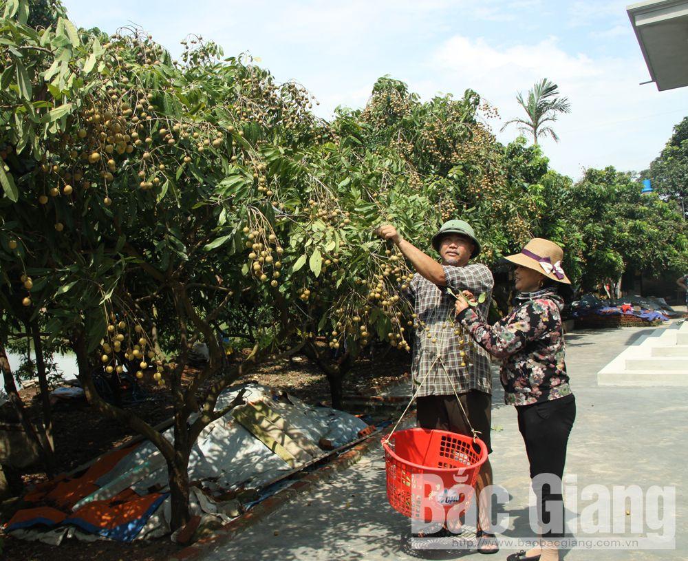 Gia đình anh Vũ Trí Nghĩa, thôn Húi có hơn 60 cây nhãn đều sai quả, sản lượng khoảng 2 tấn, thu lãi hơn 20 triệu đồng.