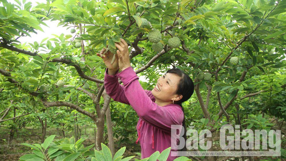 Nông dân xóm Khuyên, xã Huyền Sơn thu hoạch na.