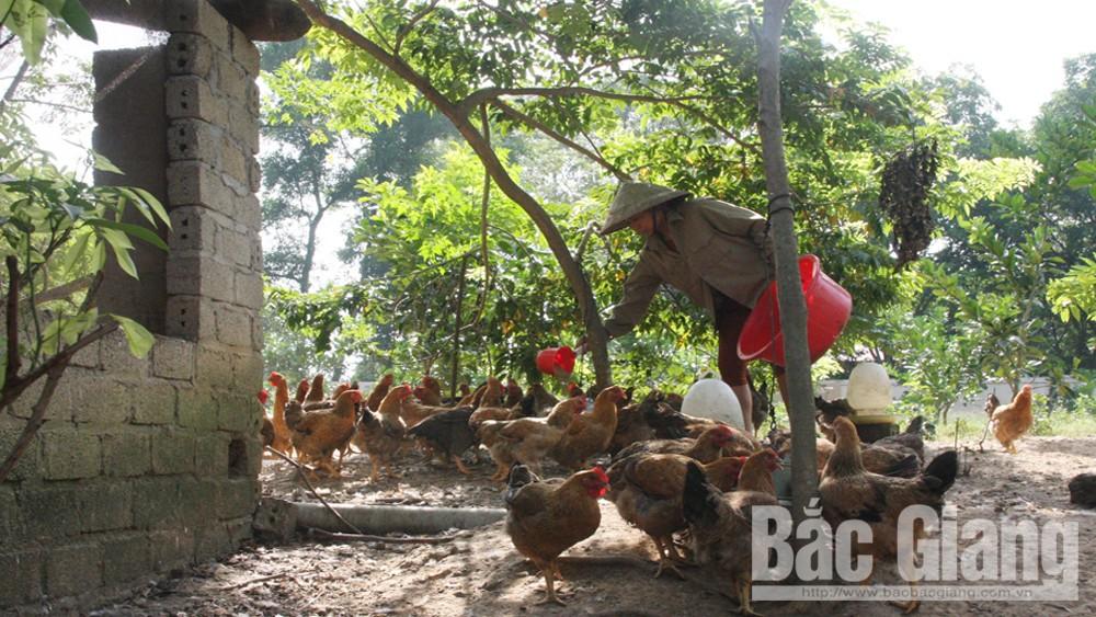 Đàn gia cầm của huyện Hiệp Hòa đạt 2,1 triệu con