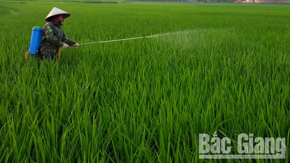 Xuất hiện bệnh vàng lá vi-rút hại lúa mùa tại Bắc Giang