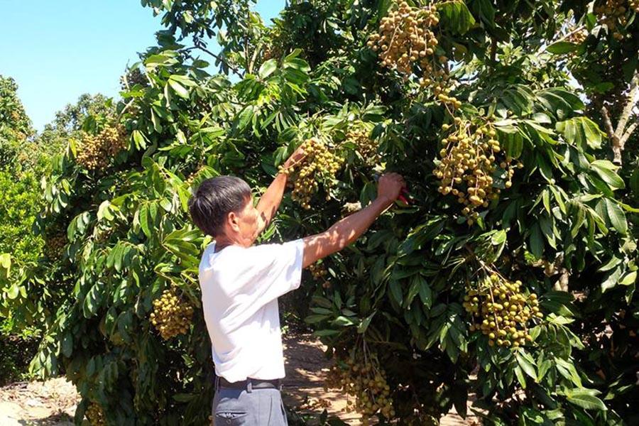 Nhãn sản xuất theo VietGAP giá cao hơn từ 3 - 6 nghìn đồng/kg