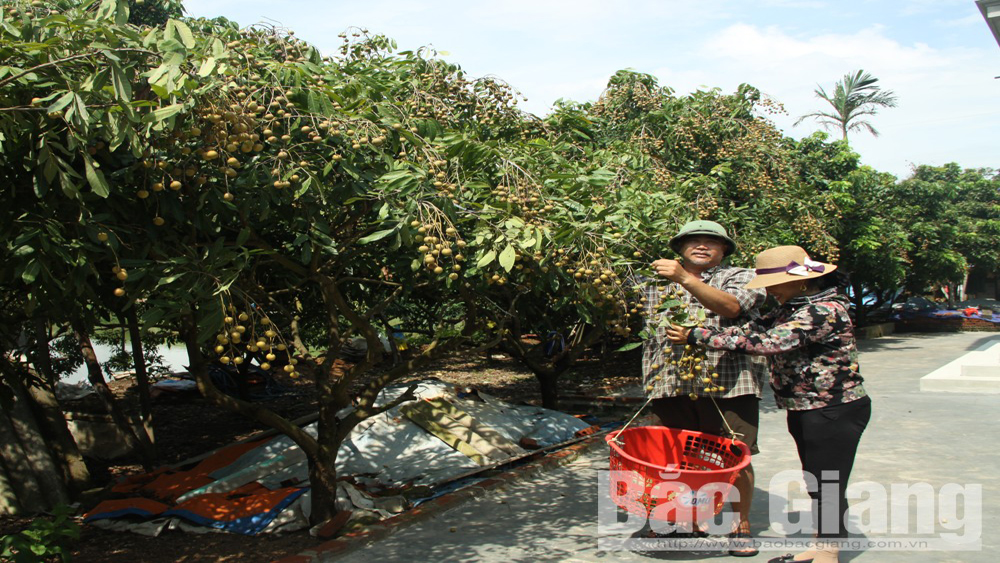 Bac Giang sees a bumper but low price- longan crop