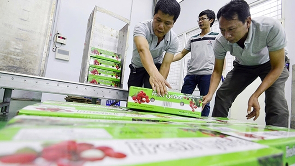 Over 90% of Vietnamese lychee exported to China