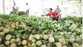 Na dai Lục Nam ổn định ở mức 32 - 37 nghìn đồng/kg