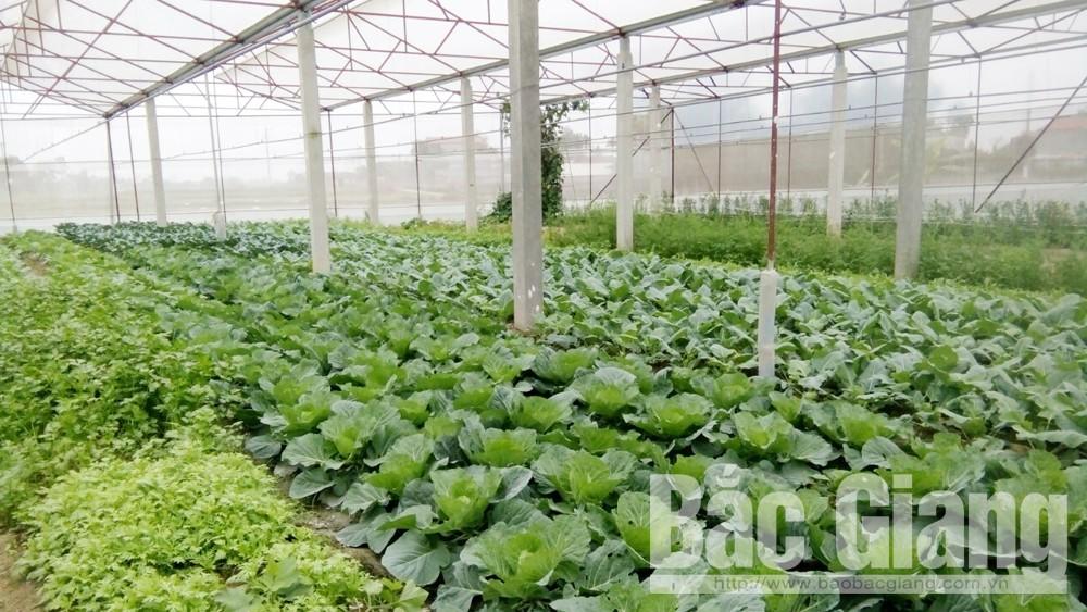 Tân Yên: Giảm hơn 200 ha diện tích rau quả vụ đông