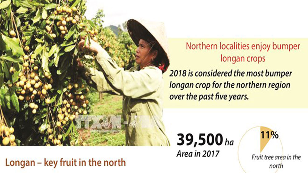Northern localities enjoy bumper longan crops