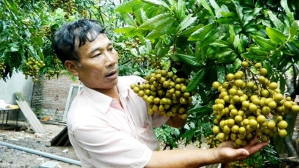 Hung Yen longan farmers see bumper crop at good prices