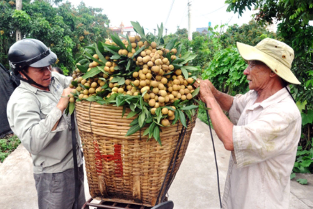 Hung Yen province, longan farmers, bumper crop, good prices, total growing area, intensive farming methods, good agricultural practices, geographical indications, substantive benefits