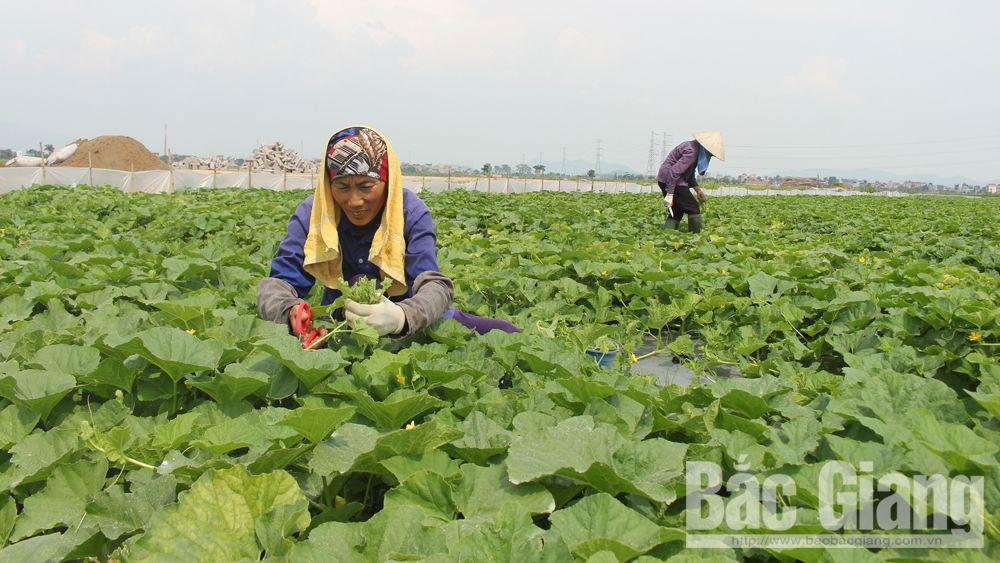 Thuận đầu ra nhờ trồng rau theo chuỗi