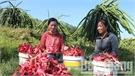 Vườn thanh long ruột đỏ của chị Hoàng Thị Tuyên