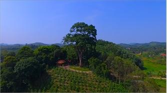 Chiêm ngưỡng cây lim xanh cổ thụ ở Xuân Lương