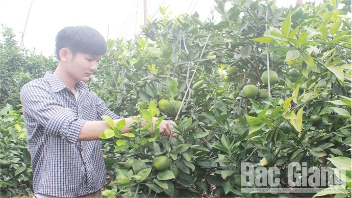 Citrus fruits yield over 50,000 tonnes in Luc Ngan district