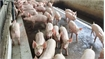 Domestic pork prices rise amid African swine fever fears
