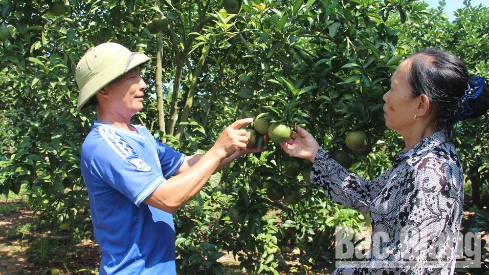 Người dân xã Trù Hựu trao đổi kinh nghiệm chăm sóc cam lòng vàng.