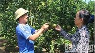 Lục Ngạn: Cây trái trĩu cành, hút khách
