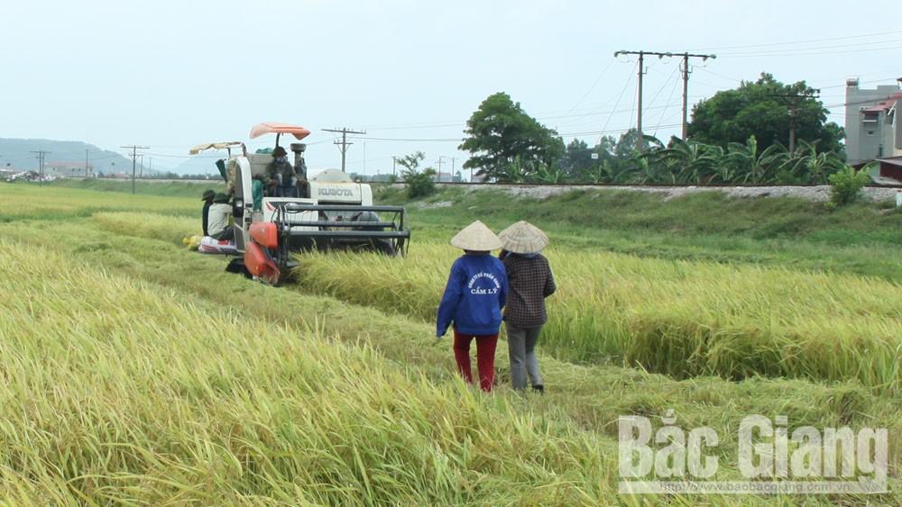 Lục Nam: Năng suất lúa mùa đạt hơn 53,2 tạ/ha