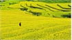 Hoang Su Phi terraced fields blanketed in yellow
