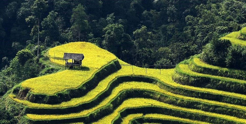 Hoang Su Phi, terraced fields, yellow blanket, harvest season, Ha Giang province, spectacular view