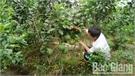 Giá bưởi da xanh Lục Ngạn từ 35 - 45 nghìn đồng/kg
