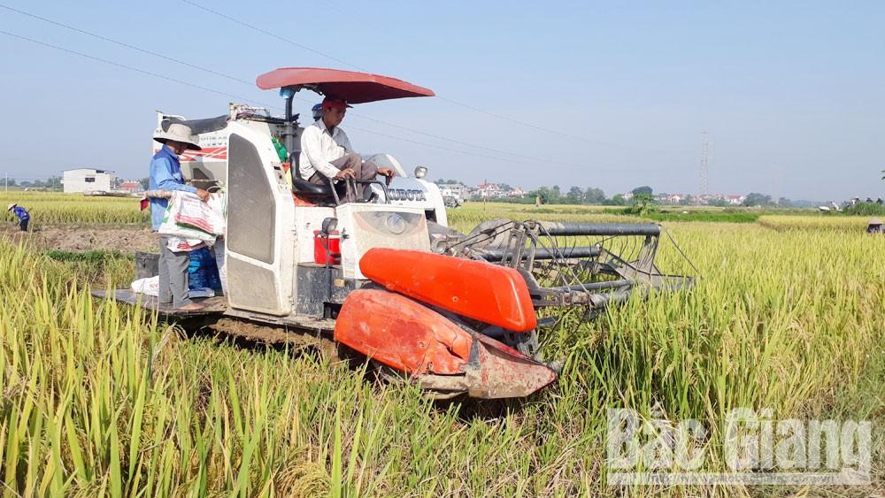Nông dân xã Xuân Hương (Lạng Giang) thu hoạch lúa mùa.