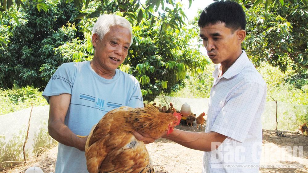 Chăn nuôi gà đón Tết