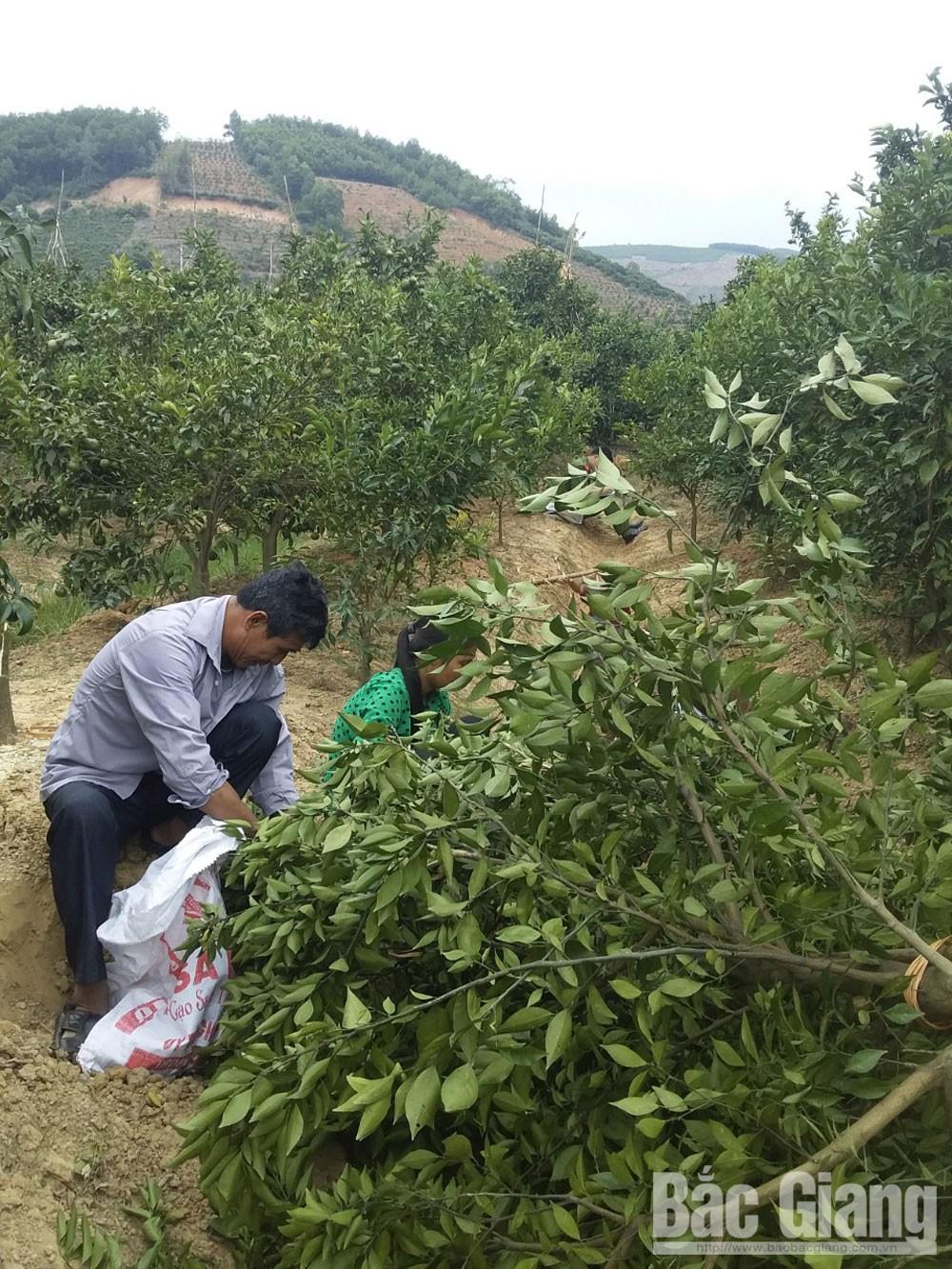 Kẻ xấu chặt phá vườn cam, xã Nam Dương, thôn Biềng, xã Nam Dương