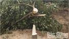 Hộ dân xã Nam Dương (Lục Ngạn) tố bị kẻ xấu chặt phá vườn cam sắp thu hoạch