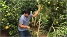 Không có việc phá cam trồng cau ở Lục Ngạn