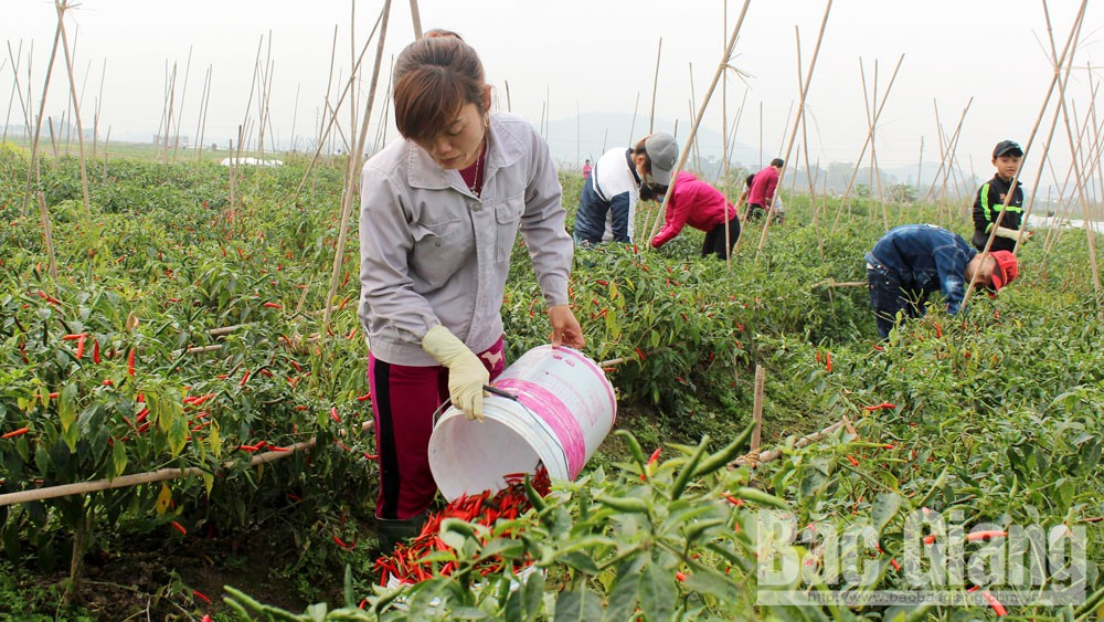 Việt Yên, Bắc Giang, quy hoạch đồng ruộng, cánh đồng liên kết, bao tiêu sản phẩm, thu nhập cao