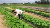 Duy trì sản xuất 11 cánh đồng mẫu vụ đông