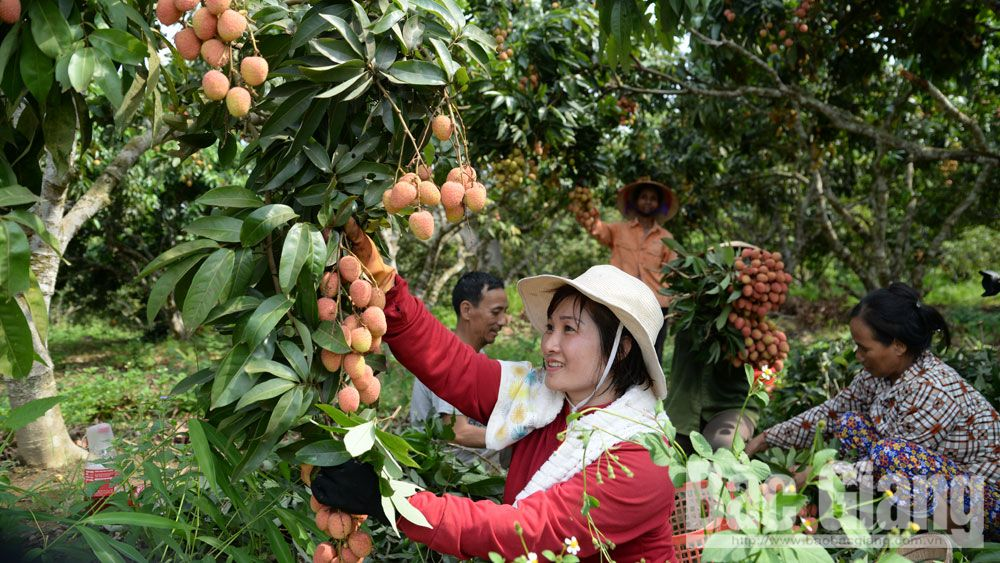 Bac Giang maintains 28,000 hectares of lychee cultivation in 2019