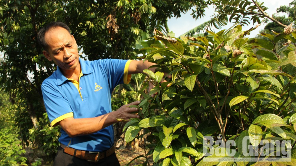 Lục Nam mở rộng diện tích trà hoa vàng