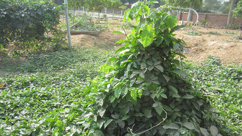 Successful preservation of Dang Shen's genetic resource