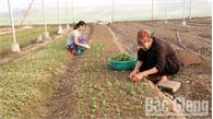 Vụ hoa cuối năm: Chuyển hướng trồng hoa chất lượng cao