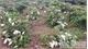 Xử lý nghiêm hành vi phá hoại cây trồng