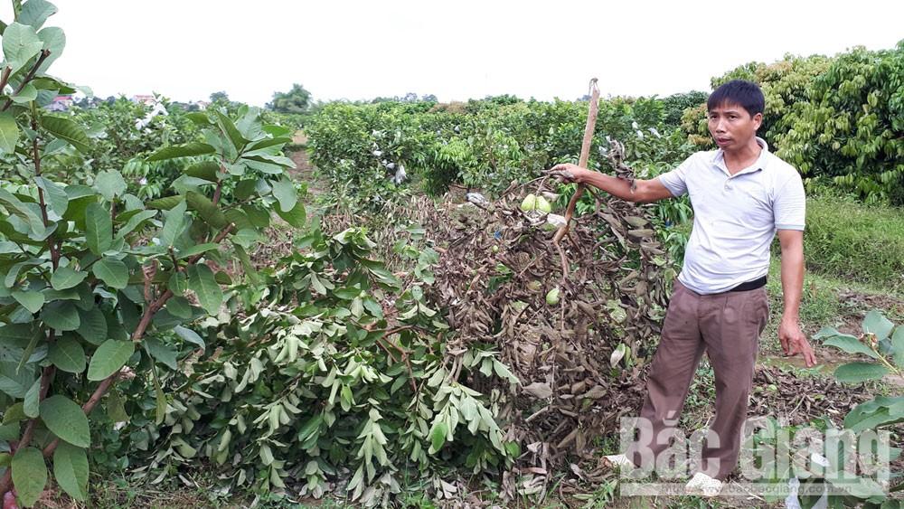 Bắc Giang, phá hoại cây trồng, thu hoạch, an ninh trật tự ở cơ sở