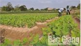 Liên kết trồng và tiêu thụ đậu tương rau