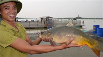 'Cá chép ma' không vảy nuôi trên sông, thịt giòn như tràng lợn