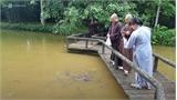 """Ngắm đàn cá """"khủng"""" trong ngôi chùa ở Huế"""