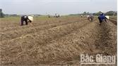 Trồng 400 ha khoai tây đông