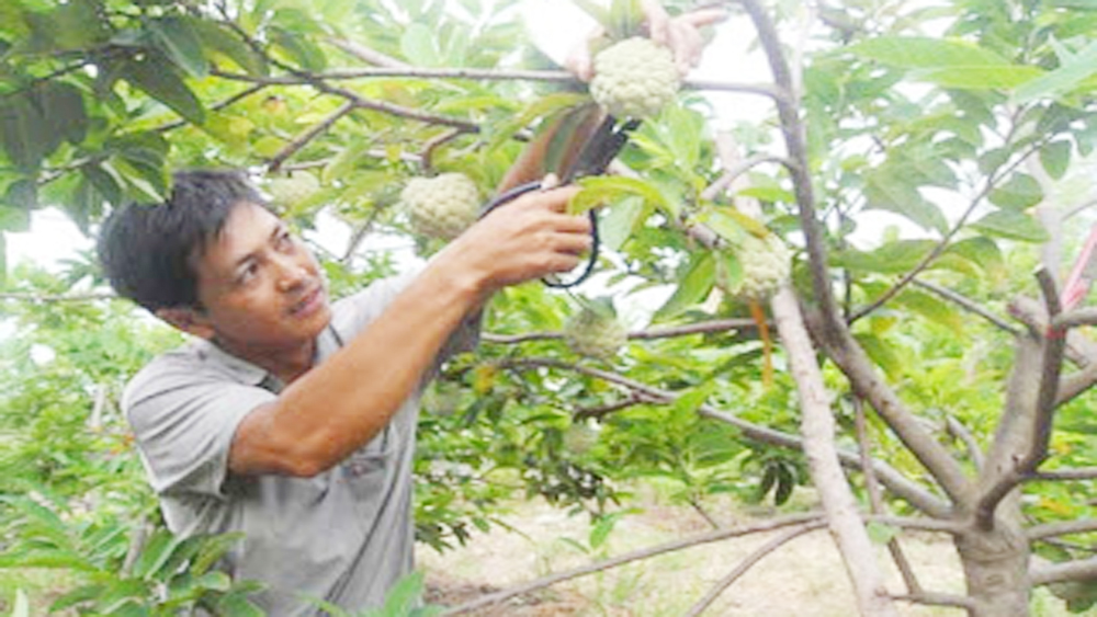 Luc Nam district, unseasonable custard apple, Bac Giang province, favorable weather condition, intensive cultivation experience,  average selling price, production mechanism