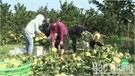 Tăng giá trị cho cây ăn quả có múi: Đột phá từ sản xuất sạch