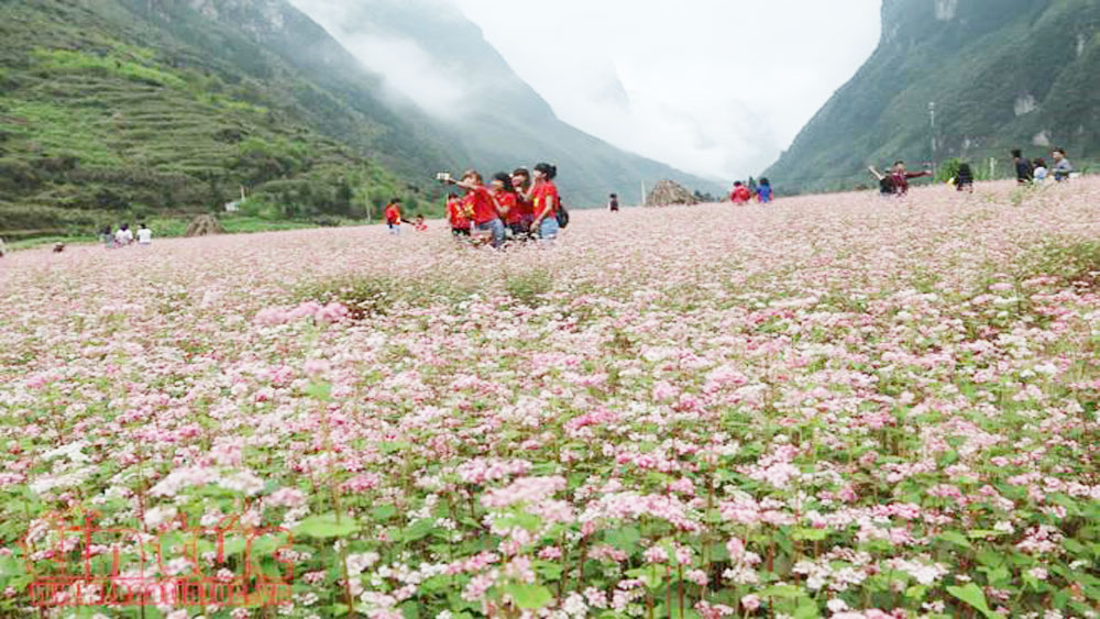 Buckwheat flower festival, Ha Giang province, diverse activities, annual festival, iconic flower, unique cultural values,  local ethnic groups