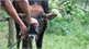 Vietnam succeeds in producing foot-and-mouth disease vaccine