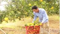 Lục Ngạn tiêu thụ hơn 10 nghìn tấn cam, bưởi