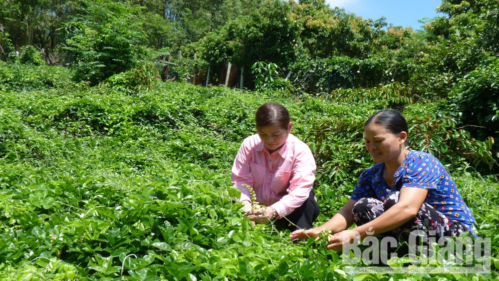 Preserving, expanding the area of Danh mountain ginseng