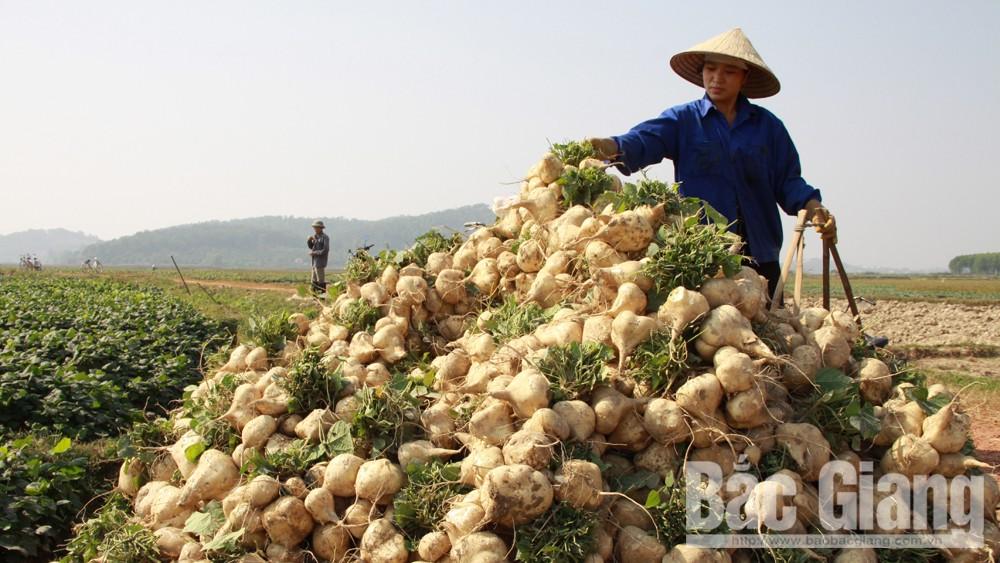 Lục Nam: Thu nhập từ củ đậu gần 300 triệu đồng/ha