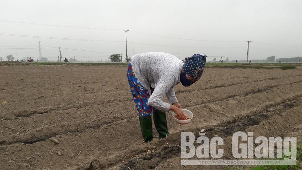 Yên Dũng: Diện tích khoai tây chiếm hơn 54% cây vụ đông